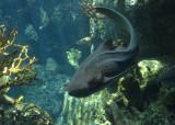 Another Zebra shark