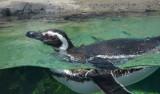 One of 12 Magellanic Penguins