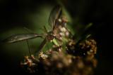 COUSIN.Tipula oleracea.The Male Innocent Mosquito