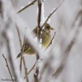 Little Greenfinch