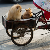 Taxi for dogs
