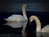 SWANS.BLUE SERIAL.COUPLE SWANS on LAKE