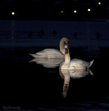 BLUE SERIAL.SWAN LAKE with DUCK and the Lights