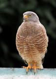 Roadside Hawk (Accipitridae) -- La Milpa resident.