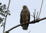 Roadside Hawk -- darker version -- not pleased with our presence.