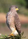 Roadside Hawk -- third individual.