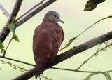Ruddy Ground Dove (Columbidae)