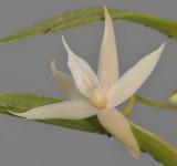 Angraecum erectum. Close-up.