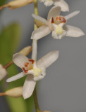 Coelogyne pholidotoides. Close-up.