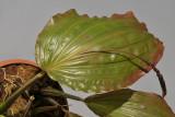 Coelogyne monilirachis. Leaf.