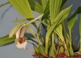 Coelogyne speciosa subsp. speciosa.