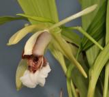 Coelogyne speciosa subsp. speciosa. Close-up.