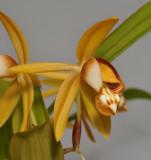 Coelogyne squamulosa. Close-up.