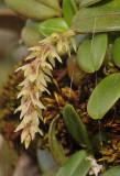 Bulbophyllum nutans