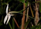 Angraecum mauritianum. Close-up side.