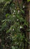 Angraecum mauritianum.