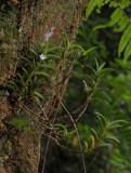Angraecum pectinatum.