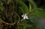 Angraecum pectinatum. Closer.