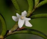 Angraecum pectinatum. Close-up.