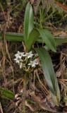 Angraecum striatum. Plant growing as terrestriall.