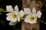 Beclardia macrostachya. Close-up.