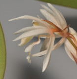Chelonistele devogelii. Close-up side.