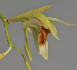 Coelogyne lycastoides. Close-up side.