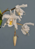 Coelogyne cristata