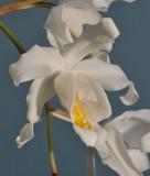 Coelogyne cristata. Close-up.