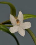 Glomera sp. Close-up.
