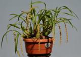Pholidota carnea subsp. carnea