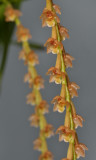 Pholidota carnea subsp. carnea. Closer.