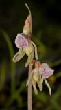 Epipogium aphyllum. Closer.