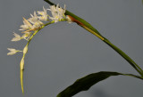 Coelogyne flexuosa. Closer.