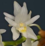Coelogyne flexuosa. Close-up.