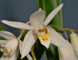 Coelogyne huettneriana. Close-up.