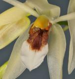 Coelogyne sp. aff. fragrans. Close-up.