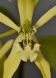 Coelogyne brachyptera. Close-up lip.
