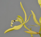 Coelogyne brachyptera. Close-up side.
