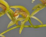 Coelogyne chloroptera. Close-up side.