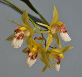 Coelogyne sorted on section