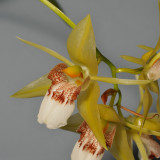 Coelogyne marmorata. Close-up.