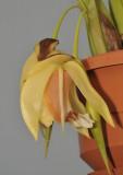 Coelogyne septemcostata. Close-up.
