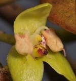 Bulbophyllum macrorhopalon. Close-up lip.