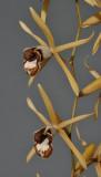Coelogyne pulverula. Close-up.