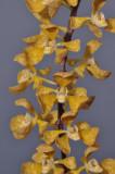 Rhinerrhizopsis engleriana cf. Closer.