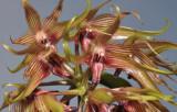Bulbophyllum ichthyosme. Close-up.