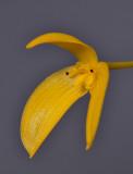 Bulbophyllum ellipticifolium. Close-up.