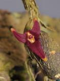 Bulbophyllum sp. Malcolm