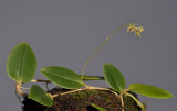 Bulbophyllum sp. sect. lepanthanthe.